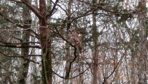 Owl on the Duck River